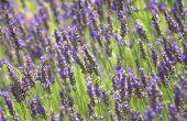 Wat te groeien met lavendel