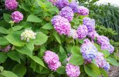 Zorg voor blauwe hortensia