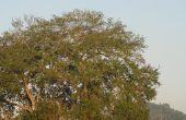 Hoe te identificeren wormen op een Live Oak Tree