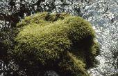 Hoe te maken van Iers mos groeien snel