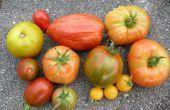 Hoe te drogen tomaten zaden