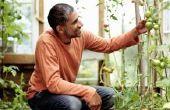 Tomaten Plant levensduur