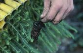 Hoe Italiaanse Cypress zaden ontkiemen