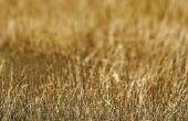 Toepassing van pesticiden gebruikt voor het doden van de cinchkabel Bugs