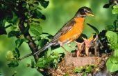 Wat zijn de kenmerken van de Robin?
