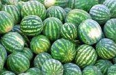 Hoe te snoeien watermeloen wijnstokken