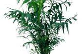 Tips voor een huishouden Palm met bruine bladeren