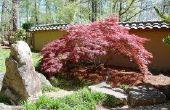 Hoe Plant een Japanse rode esdoorn-boom