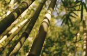 Op welke temperatuur kan bamboe groeien?