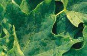 Groene wormen die gebladerte op Maple bomen eten