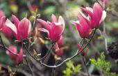 Magnolia dwergverscheidenheden