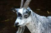 Hoe te behandelen bevriezing bij geiten