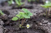 Hoe om te groeien aardbeien uit zaad