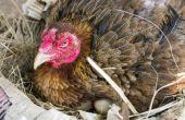 Hoe maak je kippen beginnen met het leggen van eieren