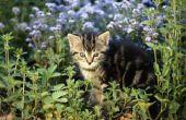Is Helleborus Niger giftig voor katten?