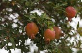 Groeiende eisen voor granaatappel bomen