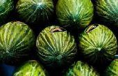 Hoe kunt u zien wanneer een watermeloen rijp op de wijnstok Is