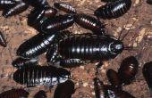 Bugs & insecten die er als kakkerlakken uitzien