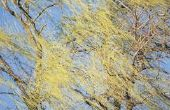 Geldt de Treurwilg boom verliest zijn bladeren in de Winter?