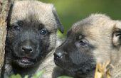Hoe geeft men een Puppy pompoen voor diarree