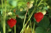 Hoe om te groeien aardbeien verticaal