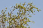 Hoe de zorg voor een kurkentrekker Willow Tree
