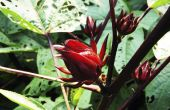 Eetbare Hibiscus