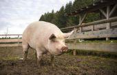 Hoe weet u of uw varken heeft wormen