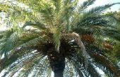 Hoe de zorg voor een Pindo Palm