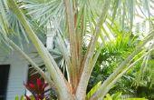 Feiten over Native Florida palmbomen