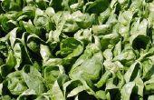 Hoe spinazie zaden ontkiemen