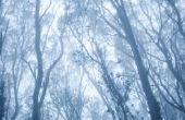 Waar komt eucalyptusbomen oorspronkelijk vandaan?