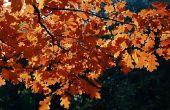 Wanneer eiken bomen verliezen hun bladeren?