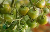 Waarom doen mijn tomatenplanten bloem maar niet produceren Fruit?