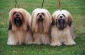 Wat ras van de hond staat bekend om haar lange wimpers?