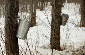 Hoeveel ahorn siroop produceert een boom?