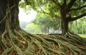 Hoe te verwijderen van de Ficus wortels