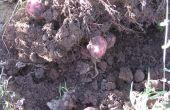 How to Plant rode aardappelen in Texas