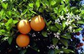 Zwarte vlekken op de bladeren van een Citrus Tree