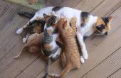 Hoe de zorg voor een moeder kat na Kittens