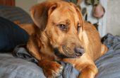 Natuurlijke Home Remedies voor jeukt als gevolg van vlooienbeten op honden