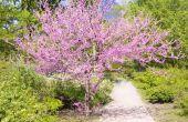 Hoe de zorg voor een Redbud boom