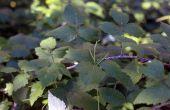 How to Plant Raspberry stekken