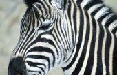 Wat zijn de biotische en abiotische factoren van de Zebra?