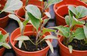 Wanneer om te beginnen met het planten van zaden binnenshuis?