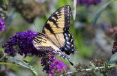 Hoe te snoeien van struiken van de vlinder