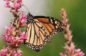 Vlinder planten voor Texas