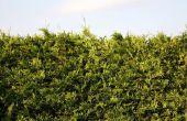 Hoe te repareren van beschadigde Cedar Hedges