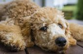 Bijwerkingen van de prednison bij honden