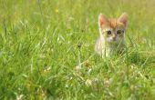 Het gebruik van Benadryl voor Cat allergieën